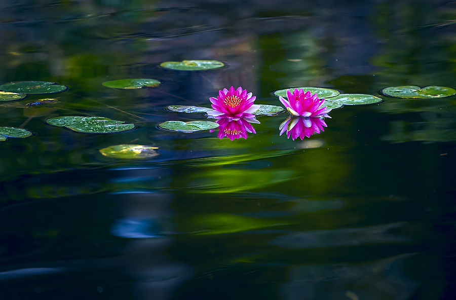 Lotus Lily Pads | NIKON 70-200 F2.8E FL ED VR <br> Click image for more details, Click <b>X</b> on top right of image to close