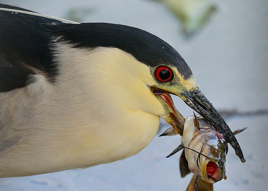 Black Crowned Night heron and Catfish | NIKON 500MM F/4G ED-IF AF-S VR N <br> Click image for more details, Click <b>X</b> on top right of image to close