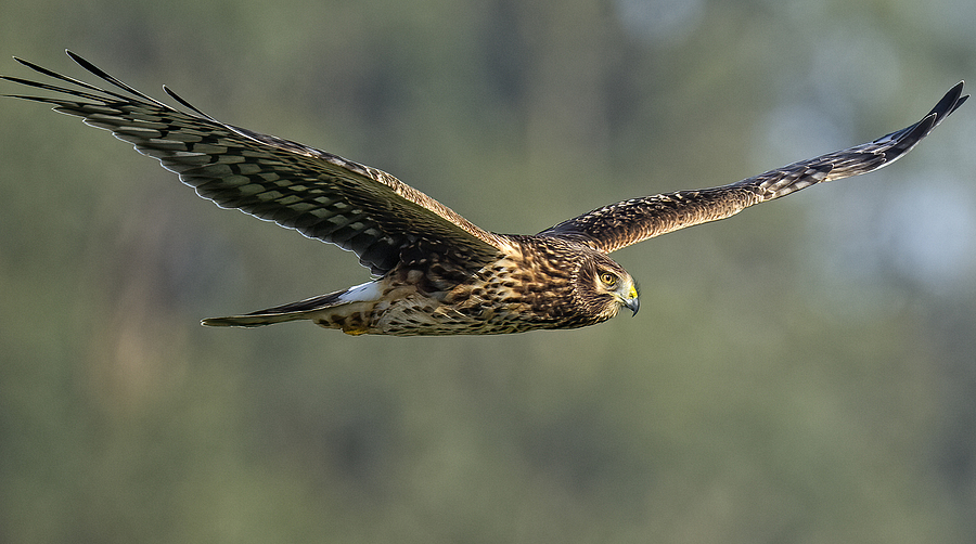 Northern Harrier | UNKNOWN (173) 508MM <br> Click image for more details, Click <b>X</b> on top right of image to close