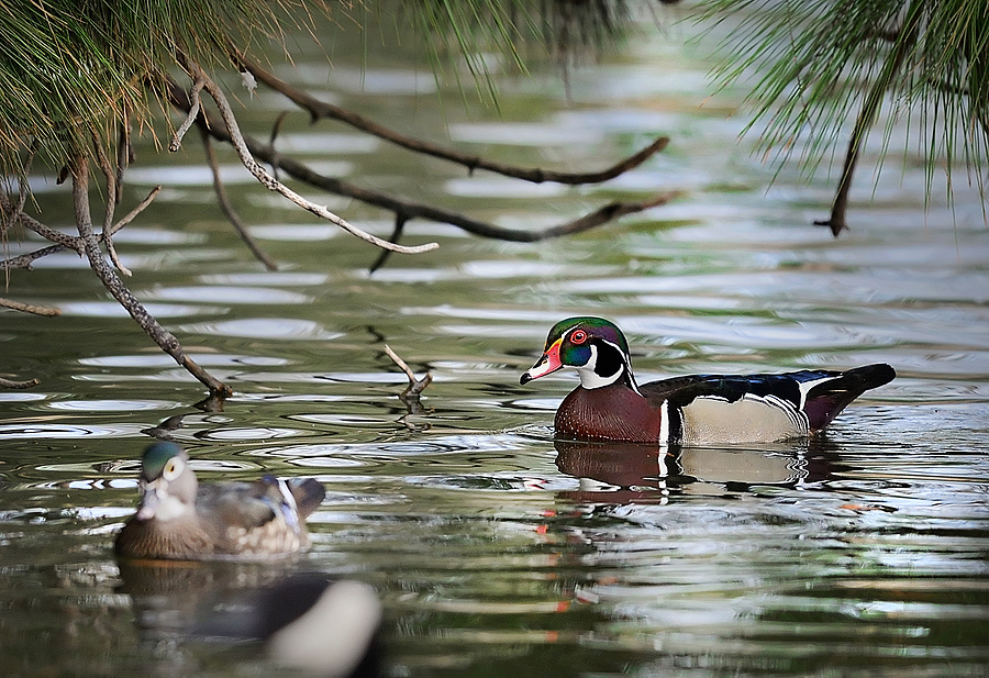 Wood Duck | NIKON 500MM F/4G ED-IF AF-S VR N <br> Click image for more details, Click <b>X</b> on top right of image to close