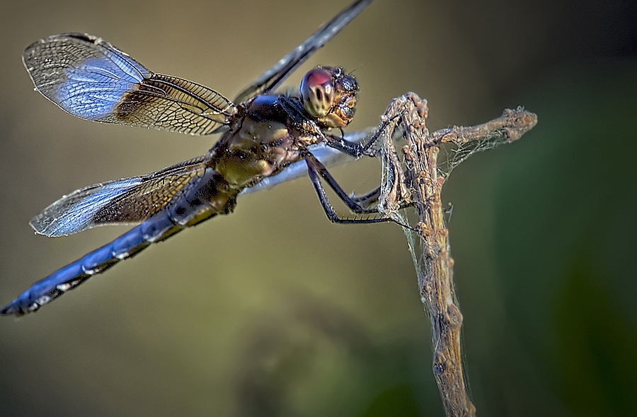 Dragonfly | NIKON 500MM F/4G ED-IF AF-S VR N <br> Click image for more details, Click <b>X</b> on top right of image to close