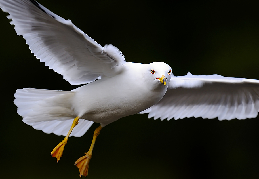 Ring Billed Gull in Flight | NIKON 500MM F/4G ED-IF AF-S VR N <br> Click image for more details, Click <b>X</b> on top right of image to close