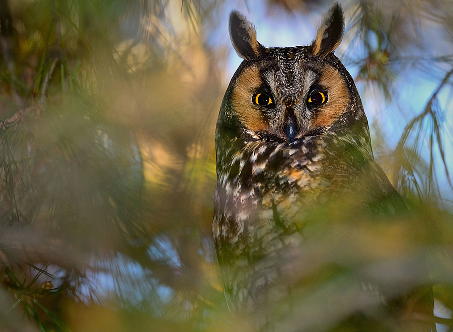 Owl | NIKON 500MM F/4G ED-IF AF-S VR N <br> Click image for more details, Click <b>X</b> on top right of image to close