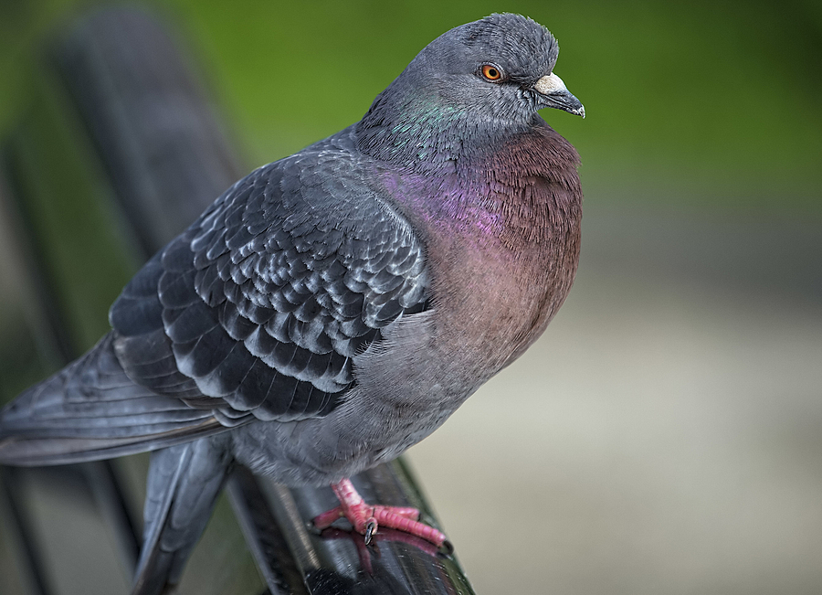 Just a Pigeon...... | NIKON 70-200 F2.8E FL ED VR <br> Click image for more details, Click <b>X</b> on top right of image to close