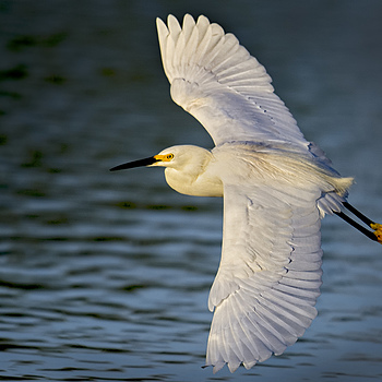 Snowy egret | NIKON 500MM F/4G ED-IF AF-S VR N <br> Click image for more details, Click <b>X</b> on top right of image to close