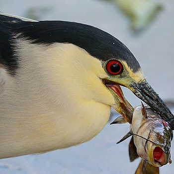 Black Crowned Night heron and Catfish | NIKON 500MM F/4G ED-IF AF-S VR N