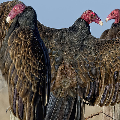 Turkey Vultures Roosting on California Coast Highway Fenceposts | UNKNOWN (173) 508MM <br> Click image for more details, Click <b>X</b> on top right of image to close