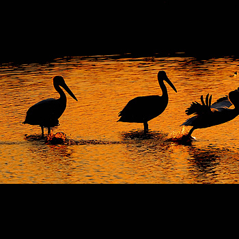 Pelicans at Dusk; San Francisco Bay | NIKON 200-400MM F/4G ED-IF AF-S VR <br> Click image for more details, Click <b>X</b> on top right of image to close