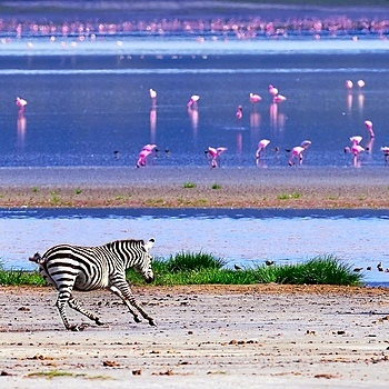 Zebras and Flamingos in Tanzania | NIKON 500MM F/4G ED-IF AF-S VR N