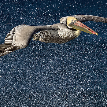 Brown Pelican in Surf's Spray | NIKON 500MM F/4G ED-IF AF-S VR N