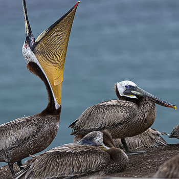Brown Pelicans in California Central Coast | NIKON 200MM F/2.0G ED-IF AF-S VR <br> Click image for more details, Click <b>X</b> on top right of image to close