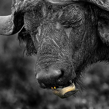 Water Buffalo teeth Cleaning | NIKON 500MM F/4G ED-IF AF-S VR N <br> Click image for more details, Click <b>X</b> on top right of image to close
