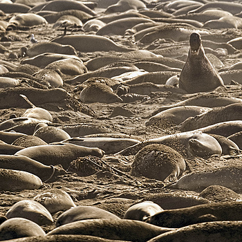 Alpha Elephant Seal Overseeing Harem; San Simeon | NIKON 500MM F/4G ED-IF AF-S VR N <br> Click image for more details, Click <b>X</b> on top right of image to close