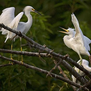 Egrets | NIKON 500MM F/4G ED-IF AF-S VR N <br> Click image for more details, Click <b>X</b> on top right of image to close
