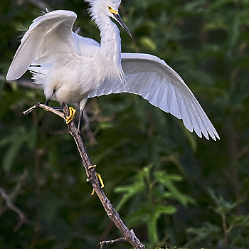 Egret | NIKON 500MM F/4G ED-IF AF-S VR N <br> Click image for more details, Click <b>X</b> on top right of image to close