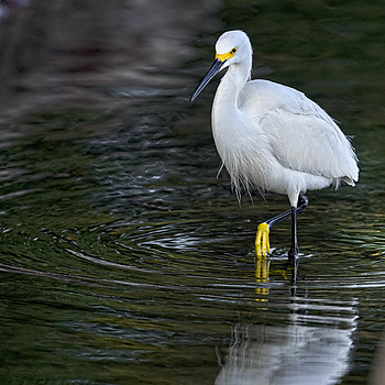Snowey Egret | NIKON 500MM F/4G ED-IF AF-S VR N <br> Click image for more details, Click <b>X</b> on top right of image to close