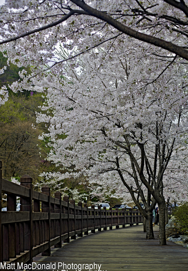 Blossom Path | NIKON 50MM F/1.8 AF <br> Click image for more details, Click <b>X</b> on top right of image to close