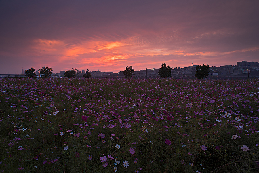 Climactic Sky With Fields of Flowers | NIKON 20MM F/2.8 <br> Click image for more details, Click <b>X</b> on top right of image to close
