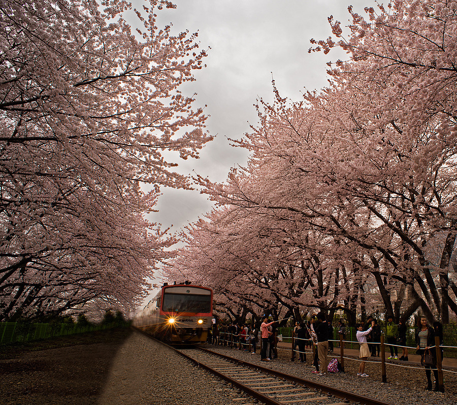 Gyeonghwa Station Blossoms In Jinhae | NIKON 20MM F/2.8 <br> Click image for more details, Click <b>X</b> on top right of image to close