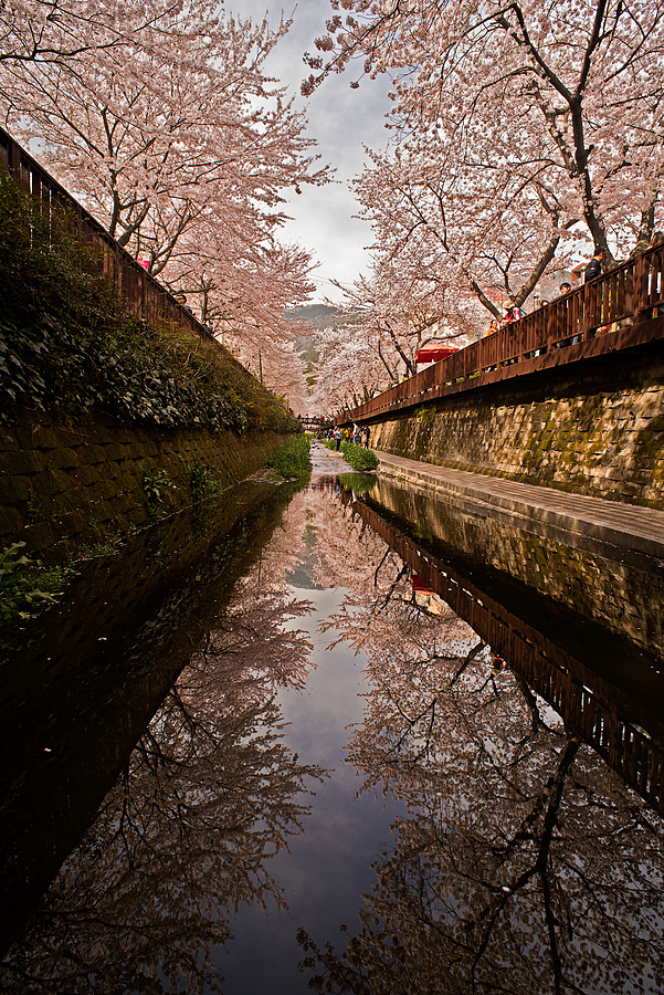 Reflective Cherry Blossom Lane | NIKON 20MM F/2.8 <br> Click image for more details, Click <b>X</b> on top right of image to close