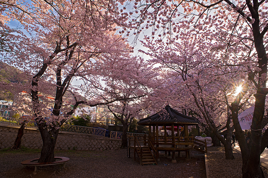 Spring in Jinhae | NIKON 20MM F/2.8 <br> Click image for more details, Click <b>X</b> on top right of image to close