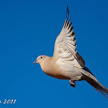 Mourning Dove | LENS MODEL NOT SET <br> Click image for more details, Click <b>X</b> on top right of image to close